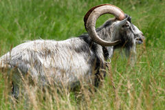 Old goat Royalty Free Stock Images