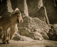 Free Old Goat Royalty Free Stock Photo - 30261855