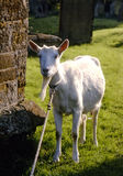 Old Goat. A goat tied up in a churchyard keeping the grass short royalty free stock image