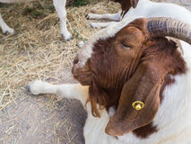 Old goat in farm Stock Photo
