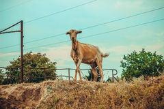 Old Goat Without Horns Royalty Free Stock Images