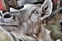 Old goat Royalty Free Stock Photo
