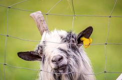 Old goat with one horn. Behind the metal fence stock photography