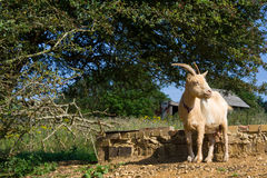 Old goat rests into the sun in strange position Royalty Free Stock Photos