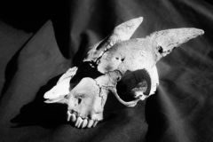 Old goat skull in Black and white. Weather skull with horns found on New Zealand farm stock photos