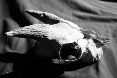 Weathered goat skull in Black and white. Old goat skull in Black and white. weather skull with horns found on New Zealand farm stock photos