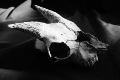 Weathered goat skull detail in Black and white. Old goat skull in Black and white. weather skull with horns found on New Zealand farm royalty free stock image