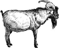 Old goat. Vector image of a profile of an old goat Royalty Free Stock Photography