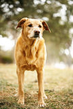 Old golden retriever. Older golden retriever dog standing outside looking off into distance Royalty Free Stock Images