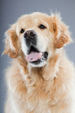 Old golden retriever dog . Royalty Free Stock Photos