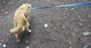 Old golden retriever dog on a leash