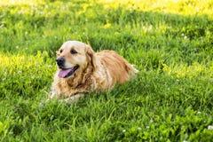 Old golden retriever dog Royalty Free Stock Photo