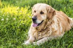 Old golden retriever dog Stock Photos