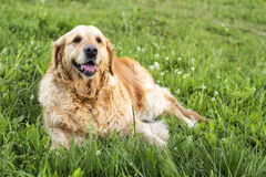Old golden retriever dog Royalty Free Stock Photography