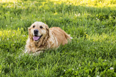 Old golden retriever dog Stock Images