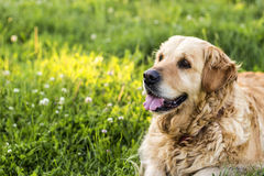 Old golden retriever dog Royalty Free Stock Image