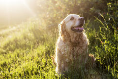 Old golden retriever dog Royalty Free Stock Images