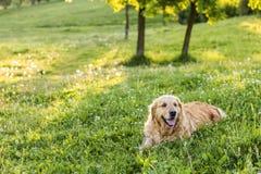 Old golden retriever dog Stock Photo