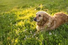 Old golden retriever dog Stock Photography