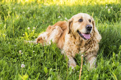 Old golden retriever dog Stock Image