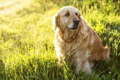 Old golden retriever dog stock images