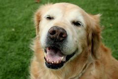 Old Golden Retriever Dog Sitting on Grass Royalty Free Stock Photo