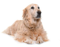 Old golden retriever Royalty Free Stock Photography