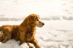 Old Dog Laying in the Snow Royalty Free Stock Images