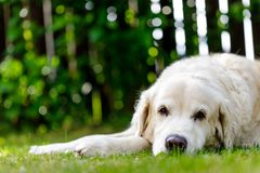 Old golden retriever lying in garden in the green grass. close up.  Stock Photography