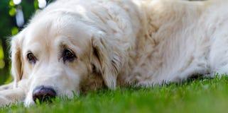 Old golden retriever lying in garden in the green grass. close up.  Stock Photos