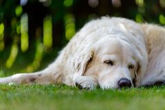 Old golden retriever lying in garden in the green grass. close up.  Stock Photo
