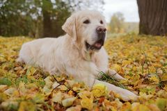 Old Golden Retriever is lying on yellow ground in autumn. Royalty Free Stock Images