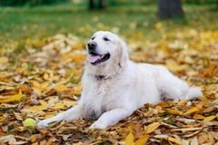 Old Golden Retriever is lying on yellow ground in autumn. Stock Photos