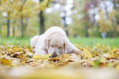 Old Golden Retriever is lying on yellow ground in autumn. Stock Photo
