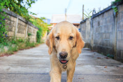 Old Golden Retriever Stock Images