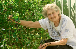Old grandmother. The old grandmother at a bush with berries in a garden in the summer Stock Images