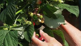 Old grandmother gather raspberries. stock footage