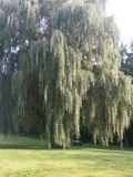 Old Grandpa of them all weeping willow. Old Weeping willow stock photography