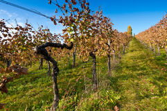 Old grape vine Stock Photo