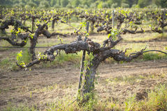Old grape vine Royalty Free Stock Photography