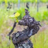 Old grape vine Stock Image
