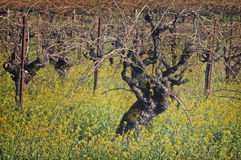 Old Grape Vines, Napa Valley, California stock photos