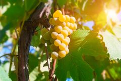 Old grapevine with amber bunch of grapes. Old grapevine with amber bunch of grapes in the sun stock photography