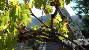 Old Grapevine  in The West Bank stock footage