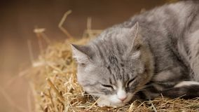 Old Gray Cat Sitting On The Hay And Sleep stock footage
