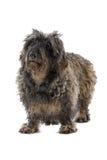 Old gray dog Stock Photos
