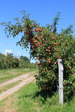 Old gray fence with apple trees and dirt path Royalty Free Stock Images