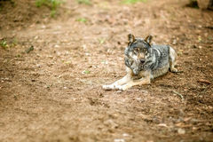 Old gray wolf Royalty Free Stock Image