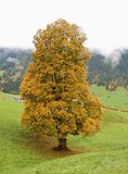 Old great maple tree Stock Image