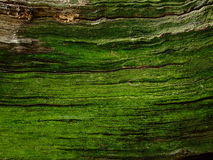 Old green bark. With moss Royalty Free Stock Image